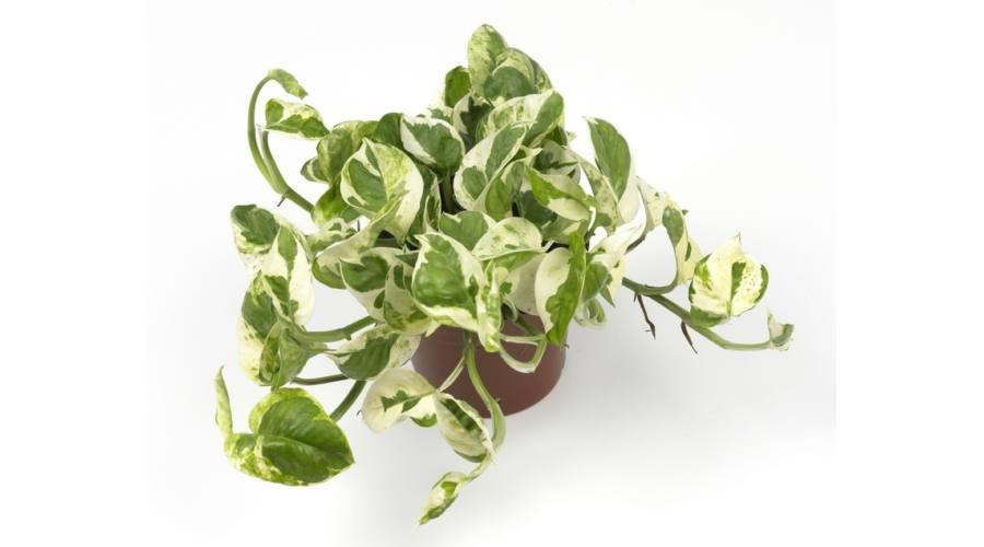 futó növény